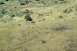 Aerial photo Herds of buffalos in the Okavango Delta